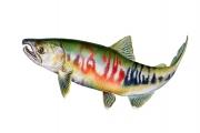 Chum Salmon (Oncorhynchus Keta Spp.)