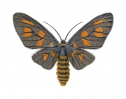Day Flying Moth (Amata Trigonophora)