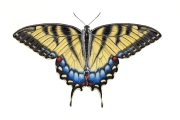 Eastern Tiger Swallowtail Butterfly (Papilio glaucus) felmale