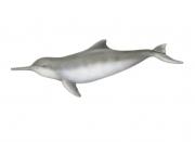 La Plata Dolphin, Franciscana, Toninha or Cachimbo (Pontoporia Blainvillei) Male