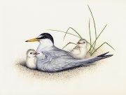 Least Tern With Chicks (Sterna Antillaru)