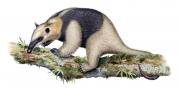 Lesser Anteater (Tamandua Tetradactyla)