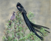Long-tailed Widowbird (Euplectes Progne)