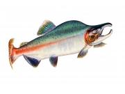 Pink Salmon or Humpback Salmon (Oncorhynchus Gorbuscha)