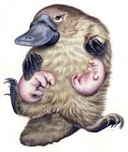 Platypus With Puglets (Ornithorhynchus Anatinus)