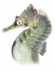 White's Seahorse (Hypocampus Whitei)